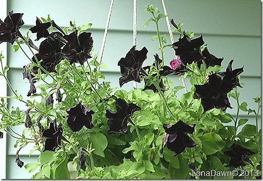 Petunia_Blackberry_HangingBasket