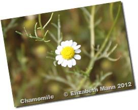chamomile 2
