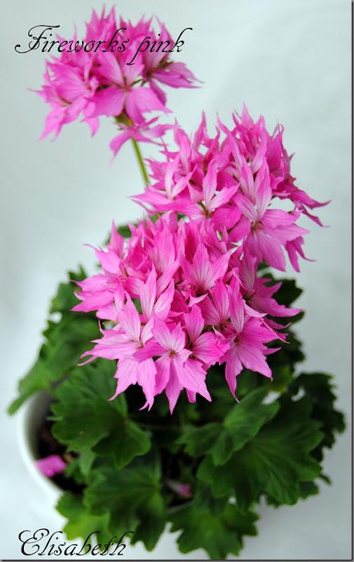 Pelargonium juni-11 065
