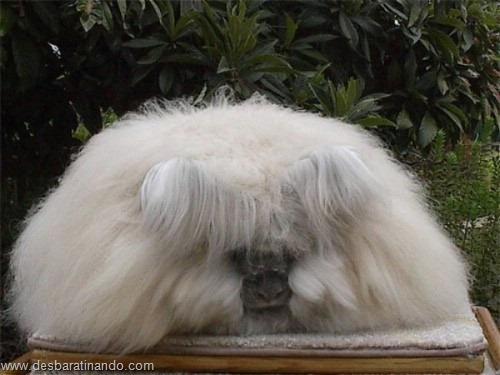 coelho angora peludo desbaratinando (2)