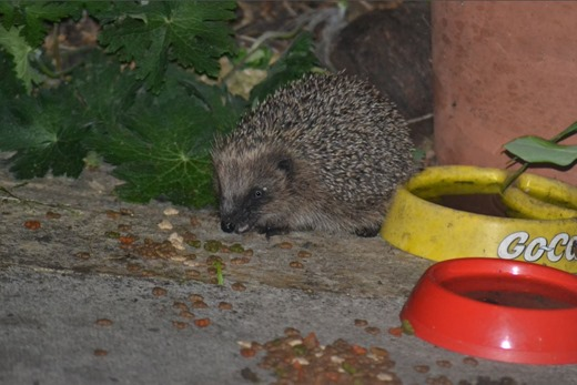 Hoglet eating the crumbs