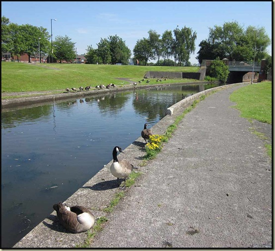 Canada Geese by the Rochdale Canal