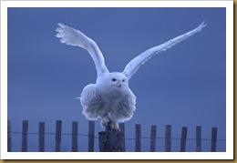 - Snowy wings out D7K_1772 January 02, 2012 NIKON D7000