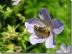 včely na květu a matečniky 019