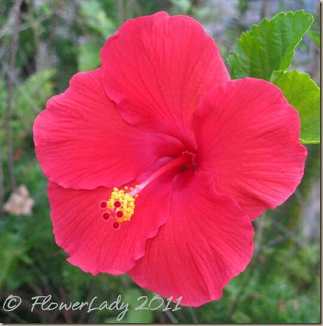 07-10-hibiscus