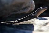 A Little Lizard Hiding In The Rocks - Halls Gap, Australia