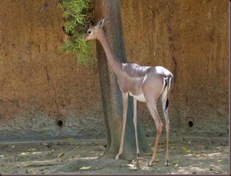 Amazing Animal Pictures Gerenuk (4)