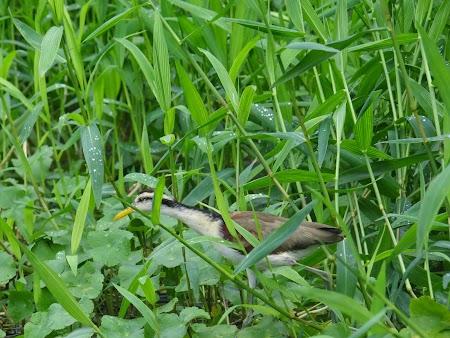 20. Pasare ascunzandu-se prin iarba.JPG