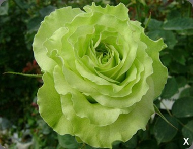 super green rose rose_super_green