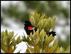 Nature - Redwing Blackbird