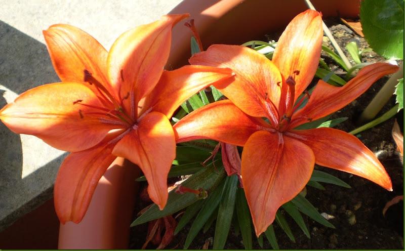 el jardinero urbano: lirios y azucenas, lilium