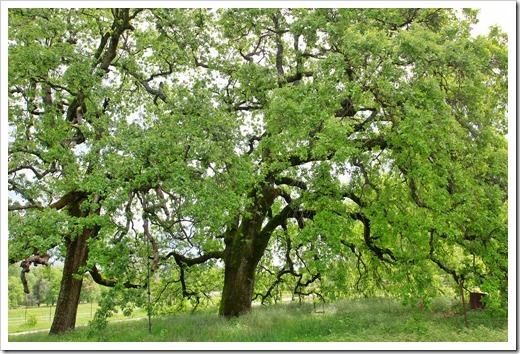 130407_Redding_Quercus-lobata_27