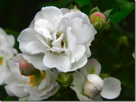 imagini-flori