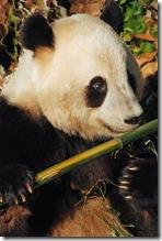 impressionist panda