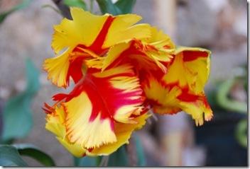 tulipa DSC_0391DSC_03944