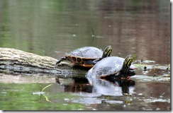 Silver River turtles