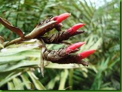 Alpinia folha palmeira