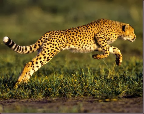 Amazing Animal Pictures Cheetah (7)