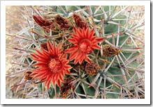 120728_ArizonaSonoraDesertMuseum_Ferocactus-emoryi_05[9]