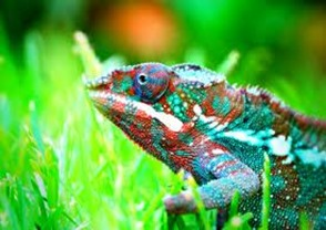 Amazing Pictures of Animals, photo, Nature, Exotic, Funny, Incredibel, Zoo, Panther chameleon, Furcifer pardalis, Reptilia, Alex (14)