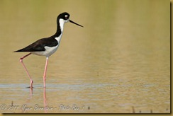 Black-necked Stilt  _ROT4220   NIKON D3S June 04, 2011