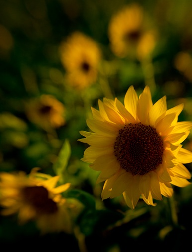 Sunflowers_08.19.11-7-Edit
