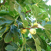 Ficus_carica_Panascè.jpg