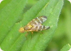 Cerajocera ceratocera Picture-winged Fly Blist's Hill 270511 032