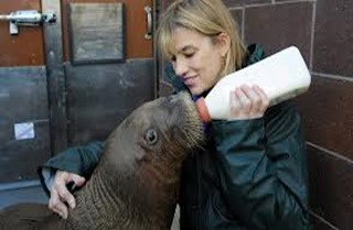 Amazing Pictures of Animals, photo, Nature, exotic, funny, incredibel, Zoo, Walrus,Odobenus rosmarus, Alex (8)