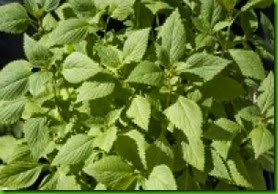 Vietnamese Lemon Mint