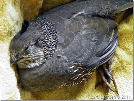 injured-quail-1
