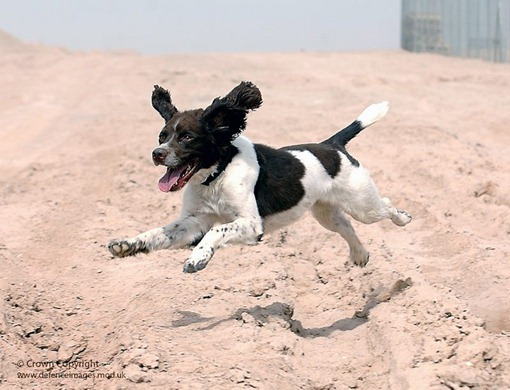 'Harvey' the Springer Spaniel is an Arms Explosive Search (AES) dog, currently serving in Afghanistan