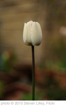 'Tulip' photo (c) 2010, Steven Lilley - license: http://creativecommons.org/licenses/by-sa/2.0/
