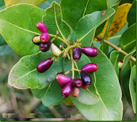 Water Berry