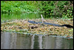 08 - Animals - Alligator 1a