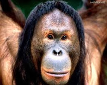 Amazing Pictures of Animals, Photo, Nature, Incredibel, Funny, Zoo, Bornean orangutan,Pongo pygmaeus, Primates, Alex (12)