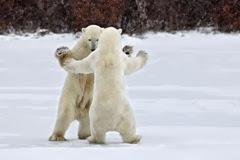 Dua Beruang Kutub