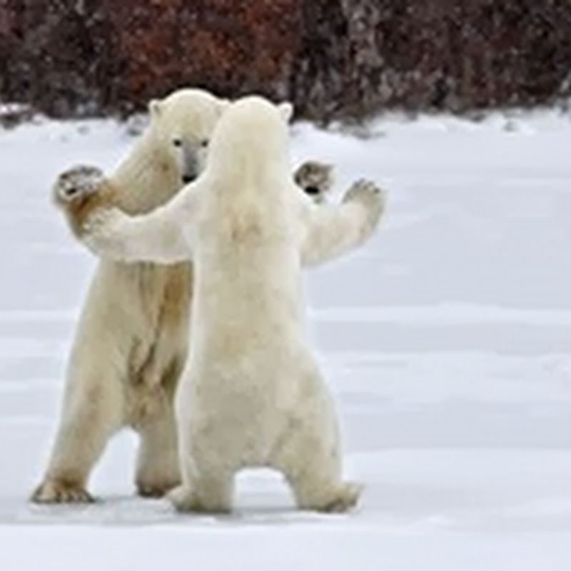 Dua Beruang Kutub | Saling Berpelukan