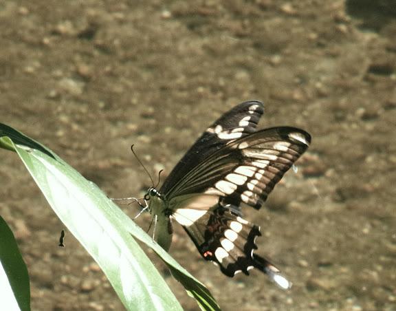 Papilio thoas brasiliensis ROTHSCHILD & JORDAN, 1906, femelle. Sertao de Barra do Una (Sao Sebastiao, SP). 22 février 2012. Photo : J.-M. Gayman