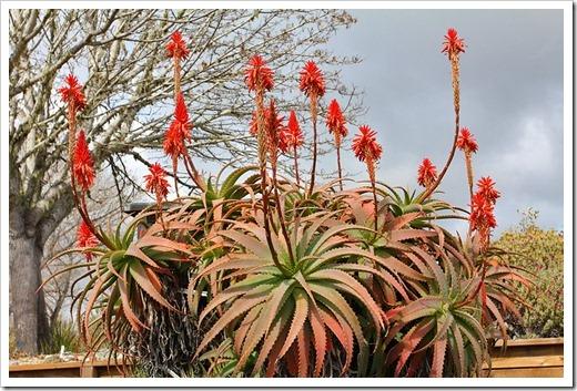 120211_UCSC_Arboretum_Aloe-arborescens_04