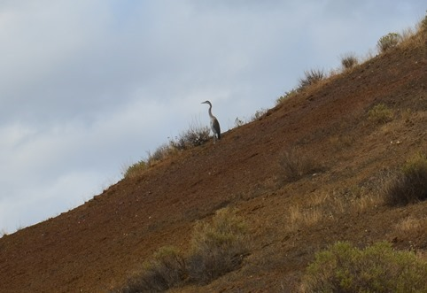 blue heron high above the John Day River at Cathedral Rock