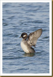 Bufflehead - Wings outstreched