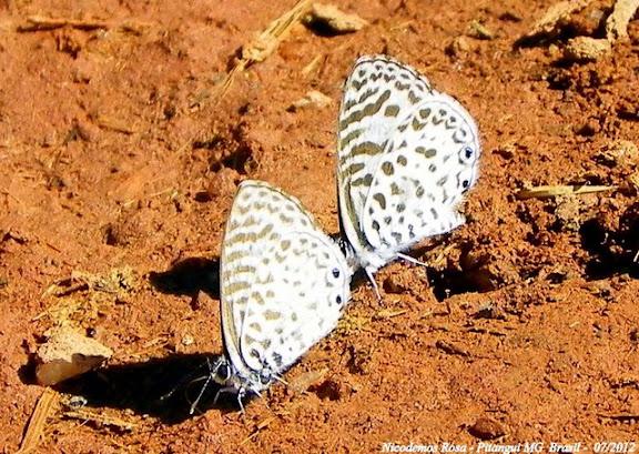 Leptotes cassius cassius (CRAMER, 1775). Pitangui (MG, Brésil), 26 juillet 2012. Photo : Nicodemos Rosa