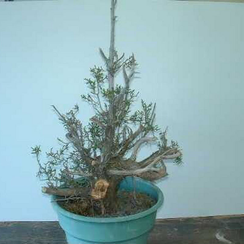 California Junipers: Tripper (Dedicated to Mr. Harry Hirao).