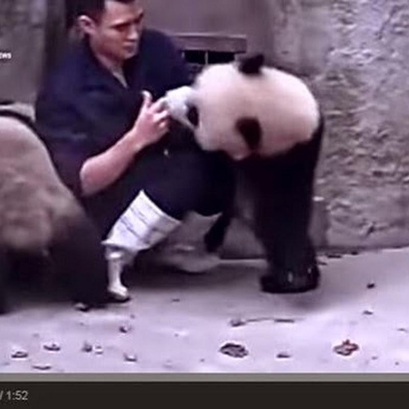 Panda δεν θέλουν να πάρουν το φάρμακό τους