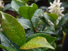 water droplets on jasmine leaves
