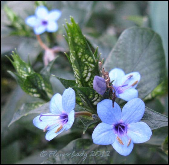 01-21-blue-sage