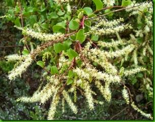 Anredera-cordifolia