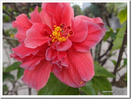 Bunga Raya II