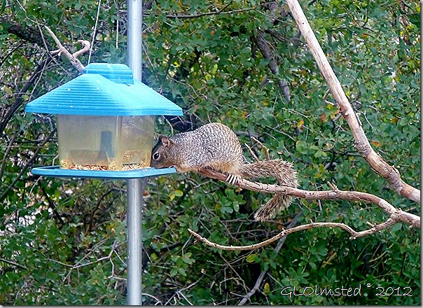 02 Rock squirrel on feeder Yarnell AZ (1024x744)